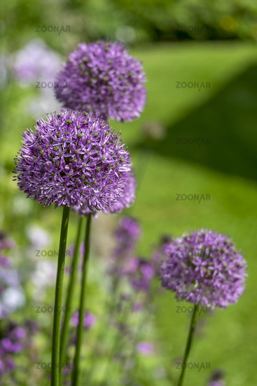 Ornamental garlic (Allium sp.)