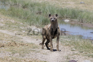 spotted hyena standing on the bank of a dry river in the savanna in the dry season