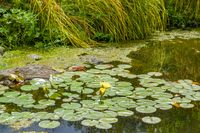 small lake with water lily plants