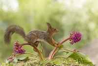 red squirrel is balancing on an Bergenia