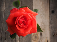 Beautiful red rose on a table