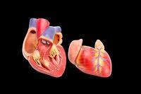 Open human heart model showing inside on black