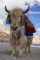 Domestic yak, Bos grunniens, Pangong Lake, Jammu and Kashmir, India.