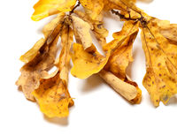 Dried autumn oak twig with yellow leaves