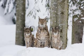 Eurasischer Luchs Familie ,Lynx lynx, eurasian lynx family
