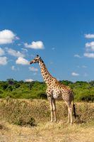 South African giraffe Chobe, Botswana safari