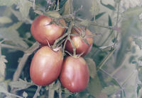 Tomatoes ripen on the branches of a Bush.