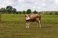 Cow on a juicy pasture