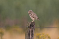 Fence post with Little Owl