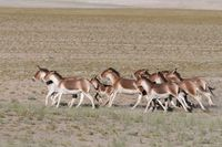Wild ass or Kiang Pack, Tsokar, Ladakh, Jammu and Kashmir, India