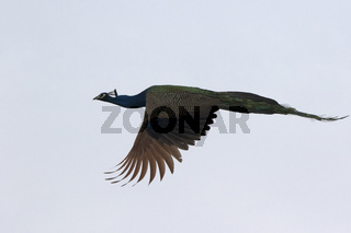 male Indian peafowl that flies on a cloudy winter day