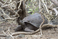Galápagos giant tortoise (Chelonoidis nigra ssp), in situ, Isabela Island, Galapagos Islands, Ecuado