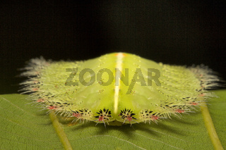Moth Caterpillar, Trishna, Tripura , India
