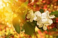 Blossom apple branch