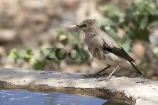 Wattled starling who sits on the edge of an artificial pond in an oasis in the middle of the African savanna