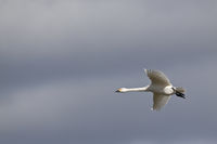 Bewicks Swan in flight / Cygnus bewickii