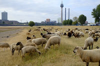 Flock of sheep on River Rhine