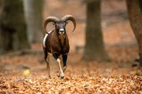 Mouflon ram running through forest in autumn with orange leafs on the ground