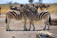 Zebras in the Etosha National Park in Namibia