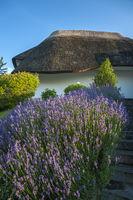 Lavendel vor dem Hotel Solthus am See in Baabe-Moritzdorf