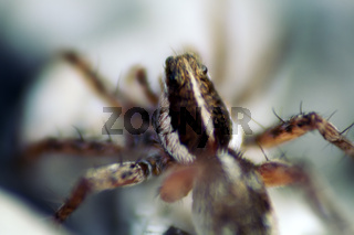 Wolf spider (Lycosidae) on the stones