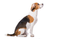 Adult beagle dog isolated on white background