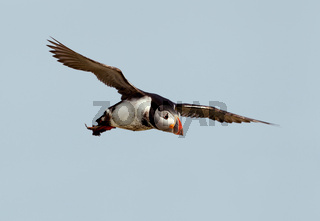 Atlantic puffin in flight