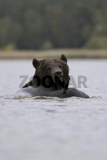 schwimmend... Europäischer Braunbär * Ursus arctos *