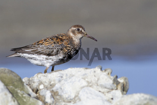 Rock sandpiper standing among the rocks on the seashore on a summer sunny day