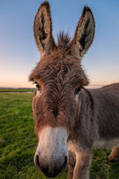 A Color Donkey Portrait at Sunset, California, USA