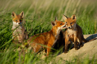 Red fox, vulpes vulpes, small young cubs near den playing.