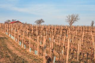 View over hibernal vineyards in Nussdorf in Vienna