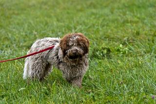 Junger Trüffelhund der Rasse Lagotti Romagnol, Trüffelmarkt Bonvillars, Schweiz