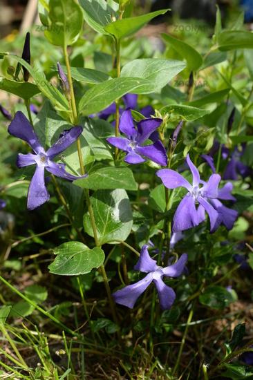 blue flower, evergreen