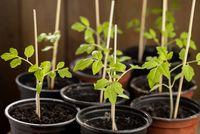 Joung tomato plants