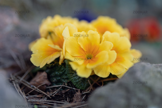 Blooming yellow flower primula