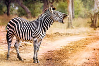 Tired Zebra with a young one, South Luangwa National Park, Zambia