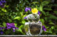 Cactus flower Astrophytum Myriostigma blooming