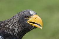 Stellers Sea Eagle, Haliaeetus pelagicus, Riesenseeadler Portrait