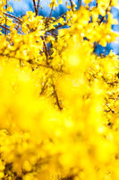 Beautiful yellow flowers and blue sky as background