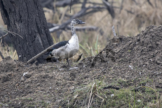 knob-billed duck which stands on a small hill on the shore of a reservoir in the national park of Bharatpur