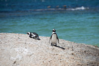 Penguins at Boulders beach in Simons Town, Cape Town, Africa