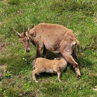 Suckling alpine ibex baby. Mount Niederhorn. Bernese Oberland.