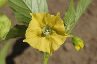 Physalis peruviana, Cape Gooseberry, blossom