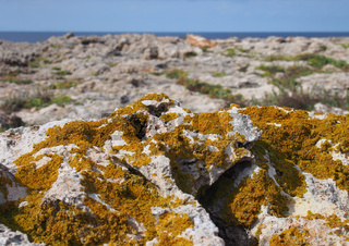 orange xanthoria a lichenized fungus growing on limestone coastal bedrock with cliffs and sea in the distance in cyprus