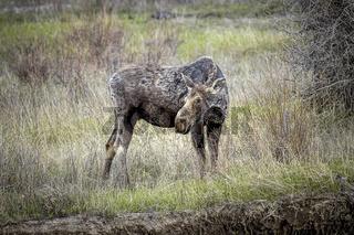 Moose grazing on leaves.
