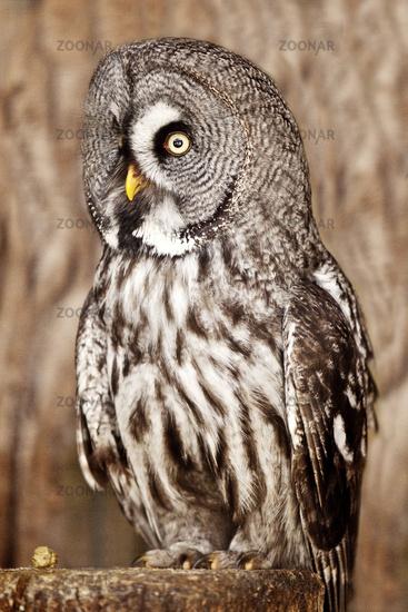 great grey owl (Strix nebulosa), portrait, side view, Pelm, Germany