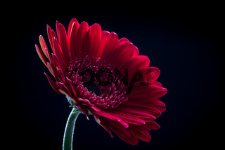 Beautiful red gerbera flower isolated on a black background.