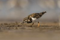 Ruddy turnstone, Arenaria interpres, Akshi, Alibagh, Maharashtra, India.