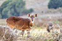 Mountain nyala, Ethiopia, Africa wildlife